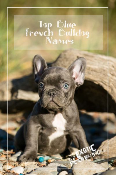 Top Blue French Bulldog Names