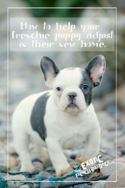Exotic French Bulldogs - Exotic French Bulldogs, French ... Red Fawn French Bulldog