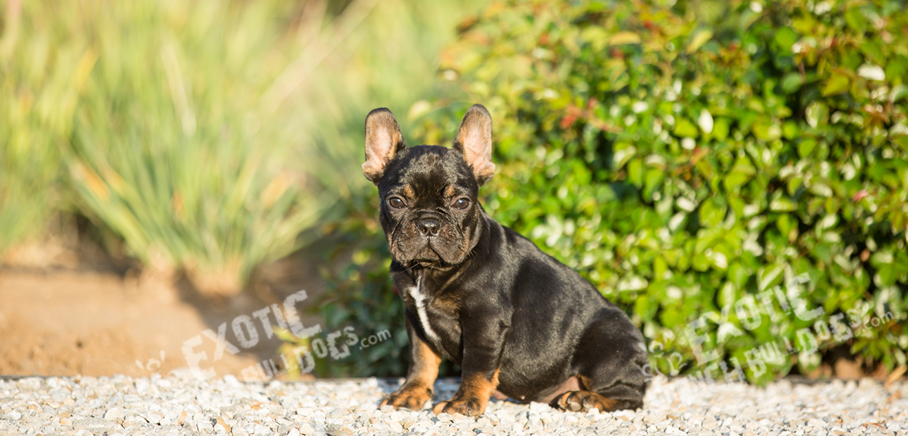 Exotic French Bulldogs Exotic French Bulldogs French Bulldog