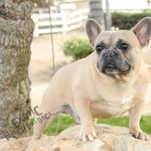 Exotic French Bulldog